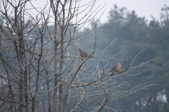 Mountain pigeons 산비둘기 한 쌍