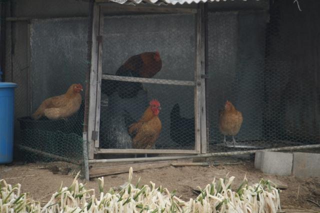 Chickens and three birds 닭들과 새마리 참새