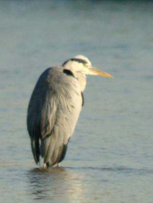 acrop_bird1