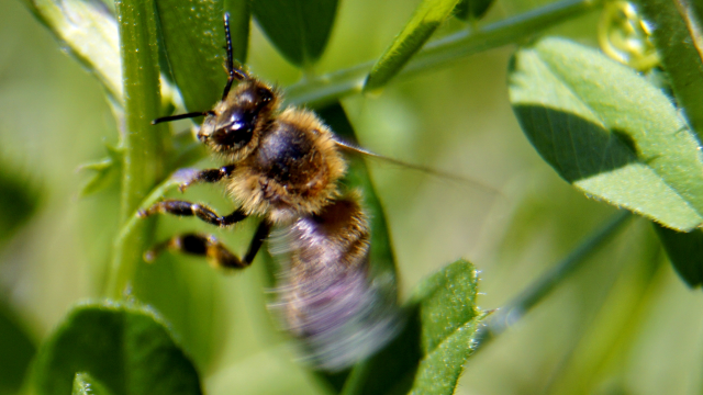 honey-bee-20170427